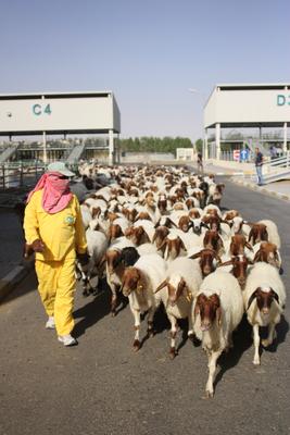 Frischmilch aus der Wüste - Katar