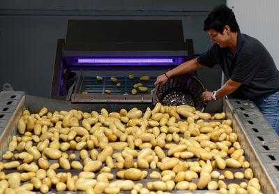 Erneut unterdurchschnittliche Frühkartoffelernte erwartet