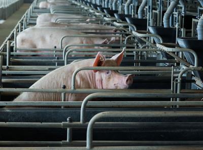Sorge wegen Ausbreitung der Afrikanischen Schweinepest