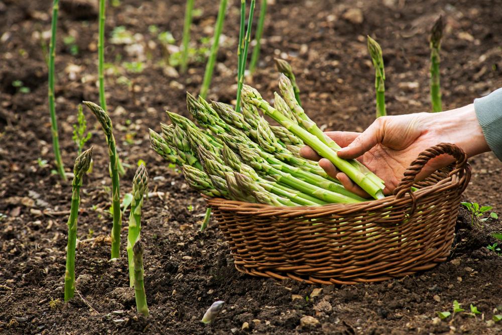 Spargel 2020 das am meisten angebaute Gemüse in Hessen