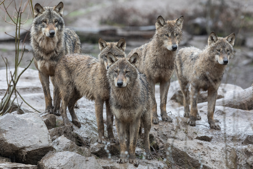 Wolf soll ins Jagdrecht aufgenommen werden