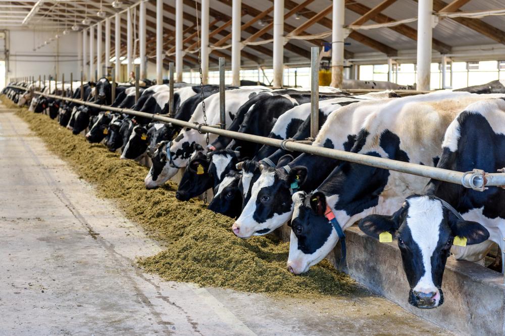 Heisses Kabel verursacht Stallbrand - Rinder gerettet