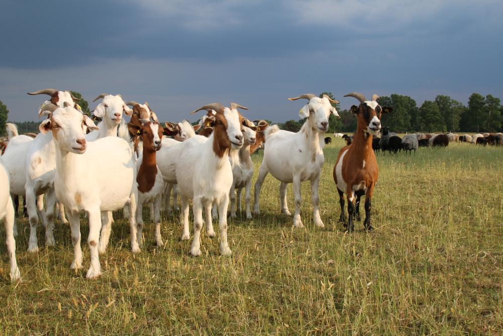 Ziegen mögen Denksport - Hinweise für Verbesserung des Tierwohls