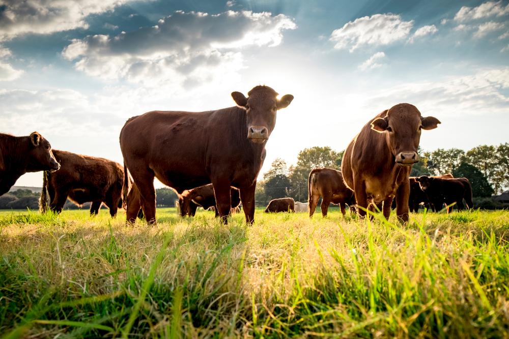 Rinderbestand in Sachsen auf historischem Tief