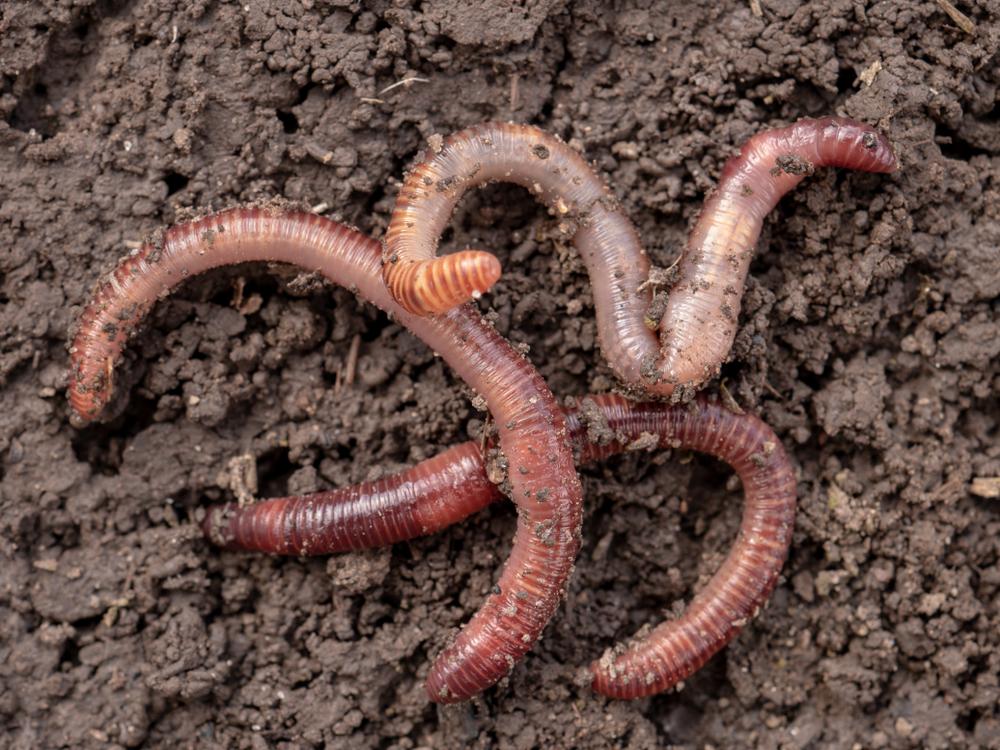 Mehr Regenwürmer in bayerischen Ackerböden