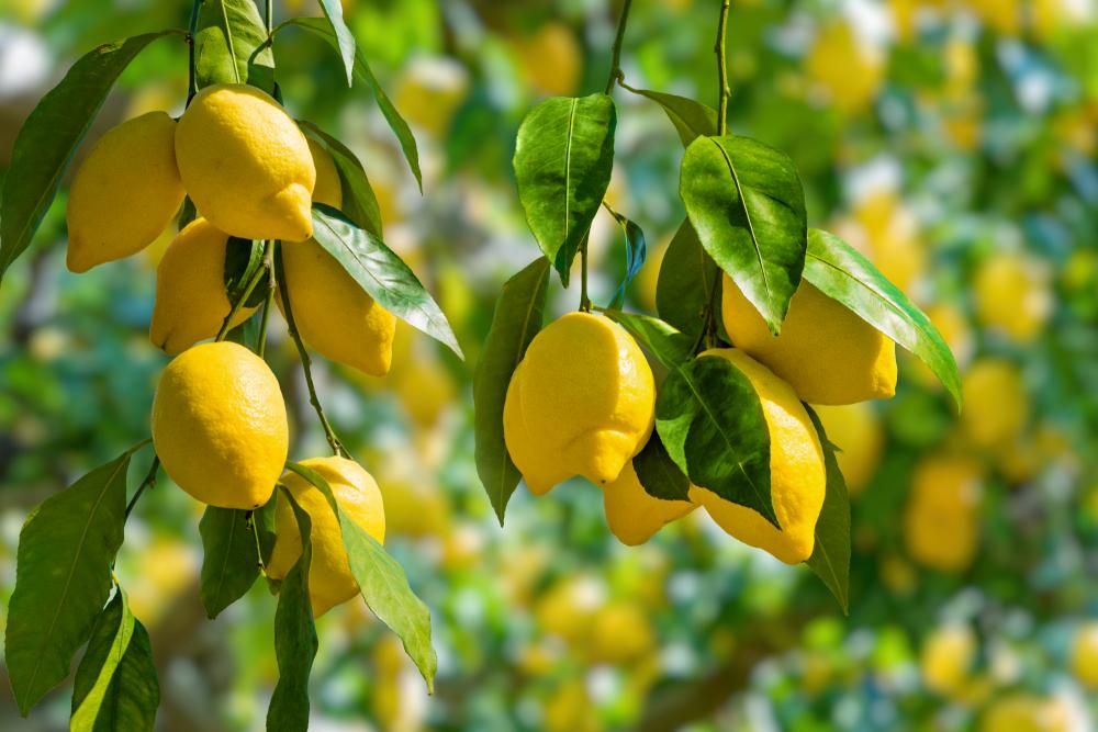 Zitronenanbau 2020/ Europa weltweit führend