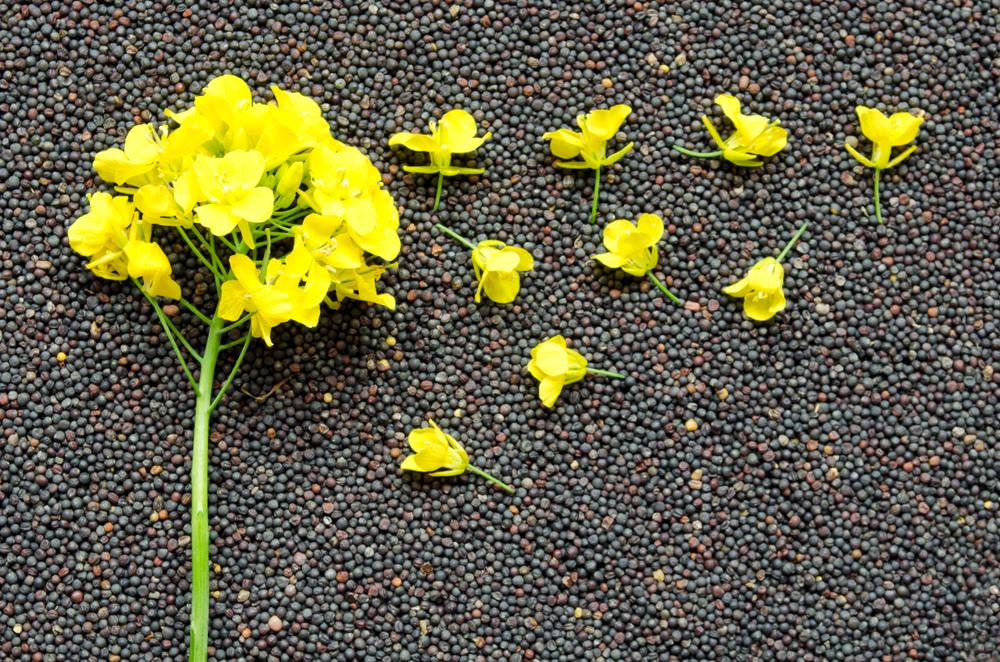 Zerfressene Pflanzen: Rapserdfloh macht Landwirten zu schaffen