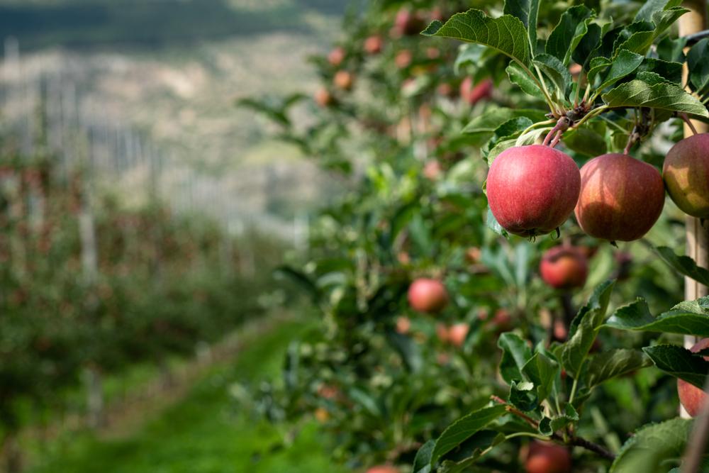 Autonomer Erntehelfer: «AurOrA» zwischen den Apfelbäumen
