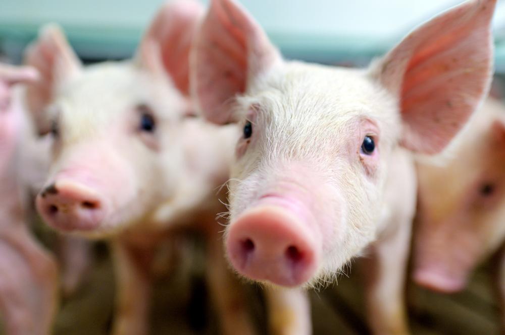 Erstmals Schweinepest bei deutschen Hausschweinen - Sorge bei Haltern