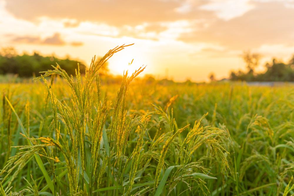 Mehr Nachhaltigkeit beim Reisanbau: EDEKA unterstützt Anbauprojekte in Indien und Thailand