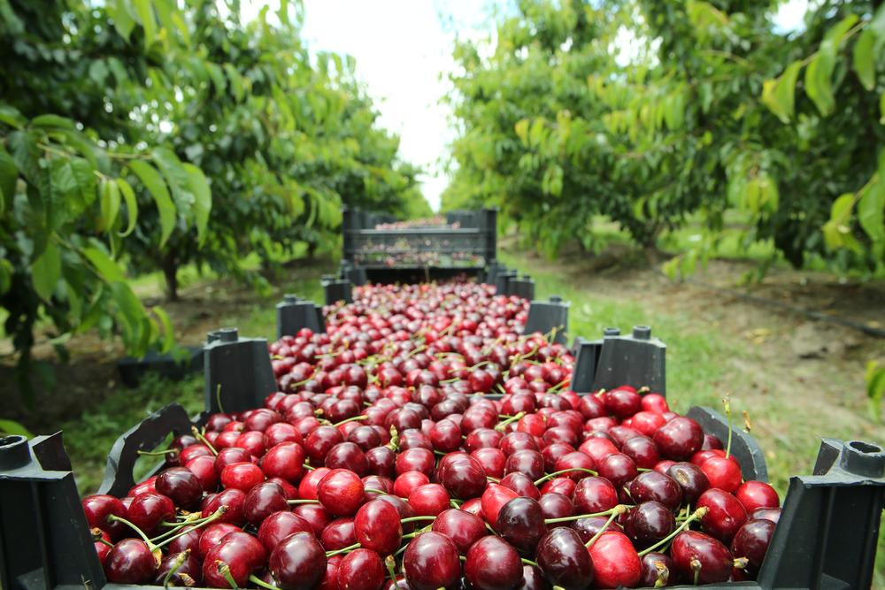 Hingucker im Obstbaum: erste Kirschen reif, Ernte startet