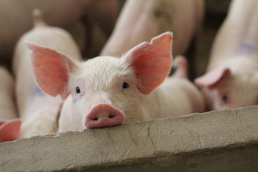 Schweinebestand in Baden-Württemberg sinkt