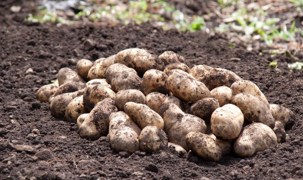 Auspflanzen der ersten Frühkartoffeln im Südwesten läuft