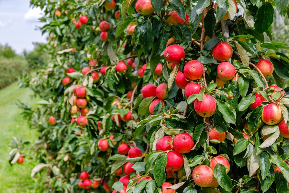 Mehr Äpfel geerntet - Baden-Württemberg und Niedersachsen vorn