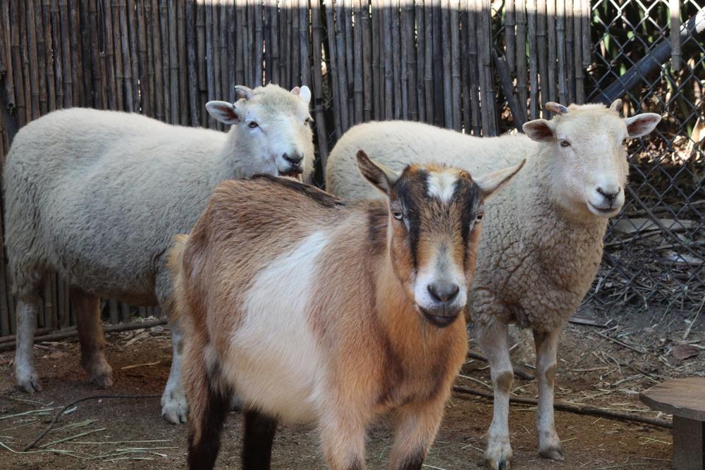 25 Euro pro Schaf und Ziege - Unterstützung für Schäfer geht weiter