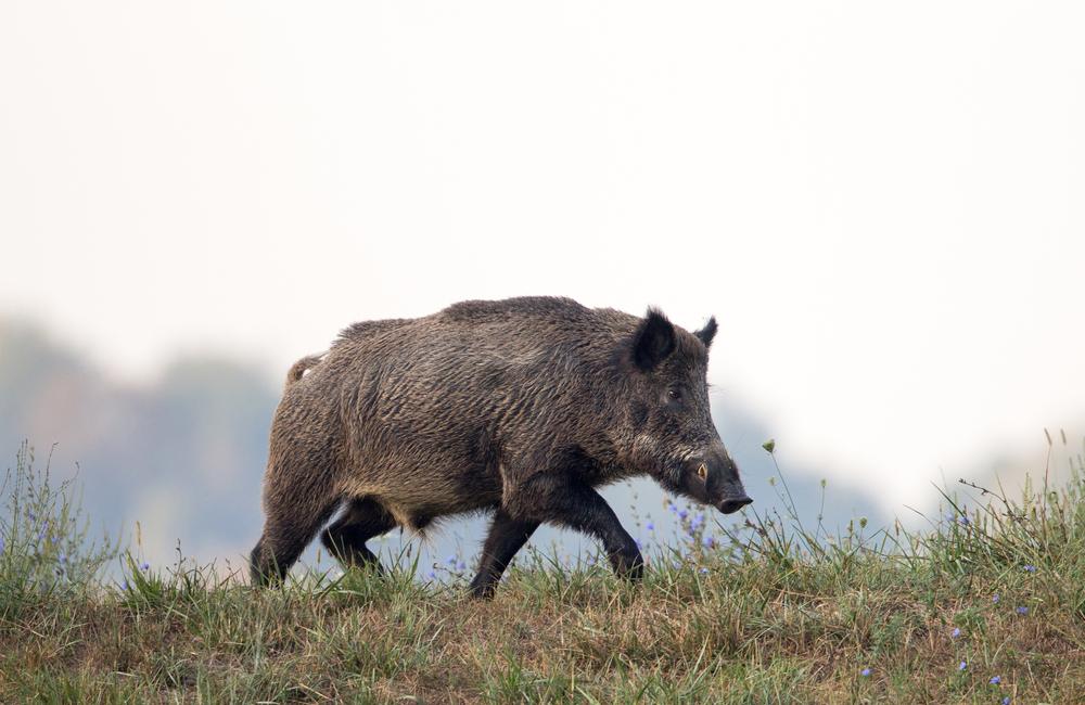Nach Zaunschluss soll Wildschweinjagd beginnen - Fallen aufgestellt