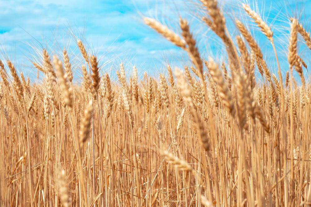 Bauern erwarten überdurchschnittliche Getreideernte