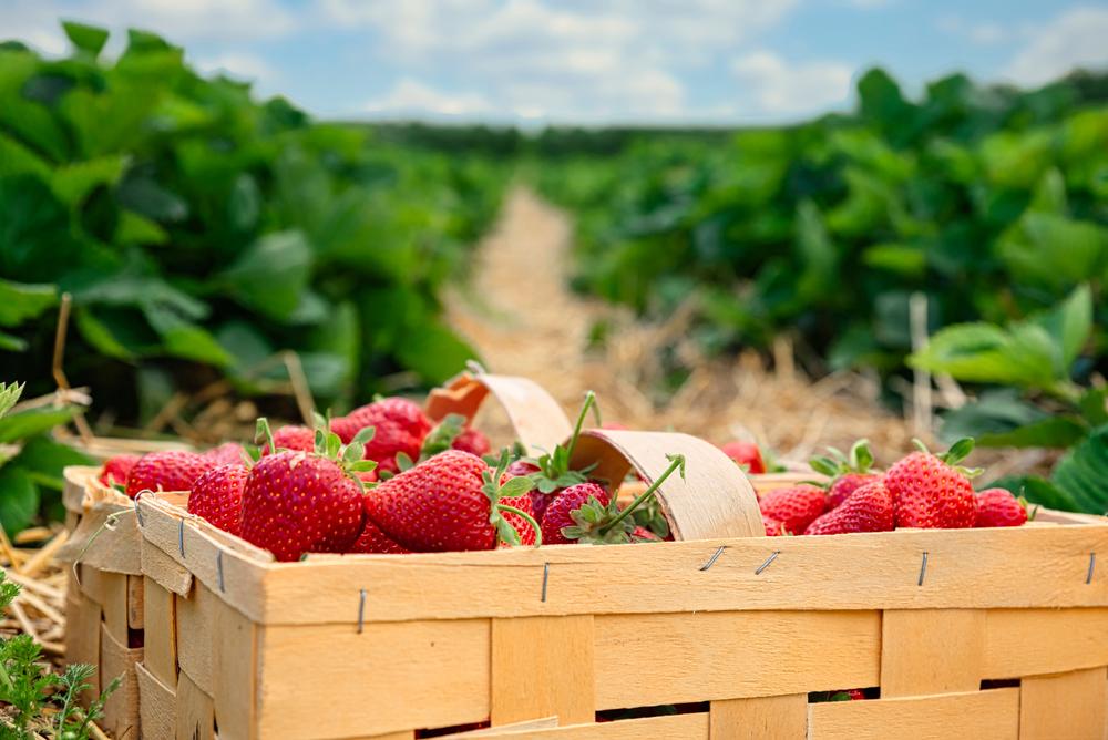 Erdbeerernte vor Start - Erste Früchte unter Folie Ende April reif