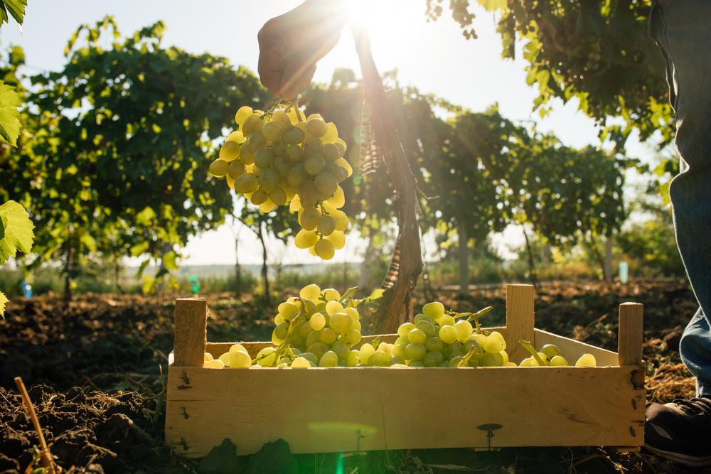 Weinanbaugebiete im Suedwesten werden immer groesser