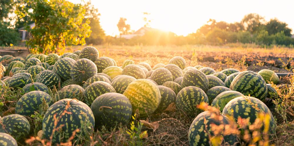 Wassermelonen aus Niedersachsen - Landwirt zieht gute Erntebilanz