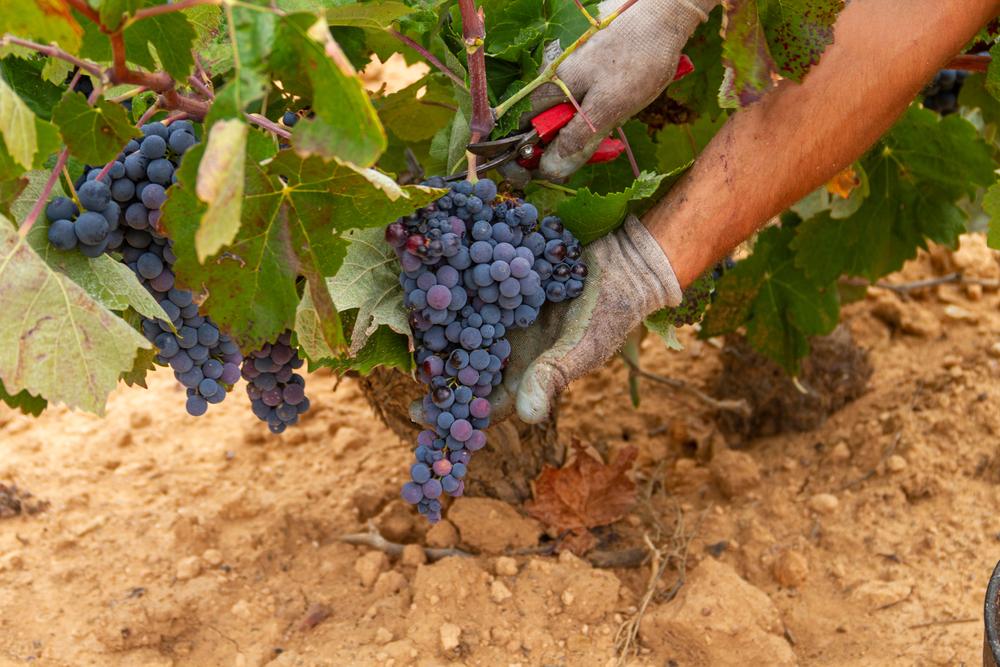 Frankreichs Weinbauern fahren historisch schlechte Ernte ein