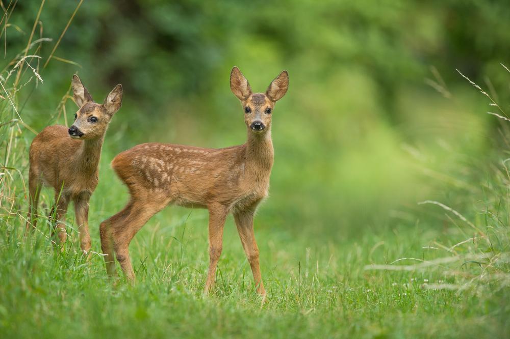 Tödliche Gefahr durch Mähwerk - Wie Jungtiere gerettet werden