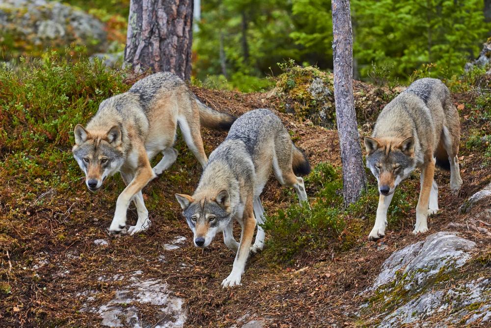 Neuer Managementplan für Umgang mit Wölfen - Bauern mahnen Jagd an