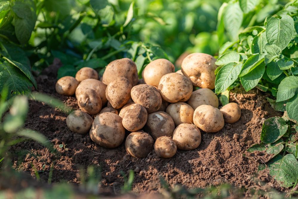 Bauern trotz Kälte im Frühjahr optimistisch für Frühkartoffelernte