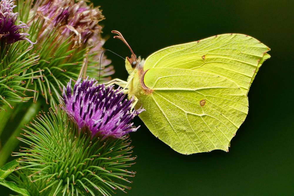Da helfen auch Blühwiesen nicht: Schmetterlinge meiden Städte meist