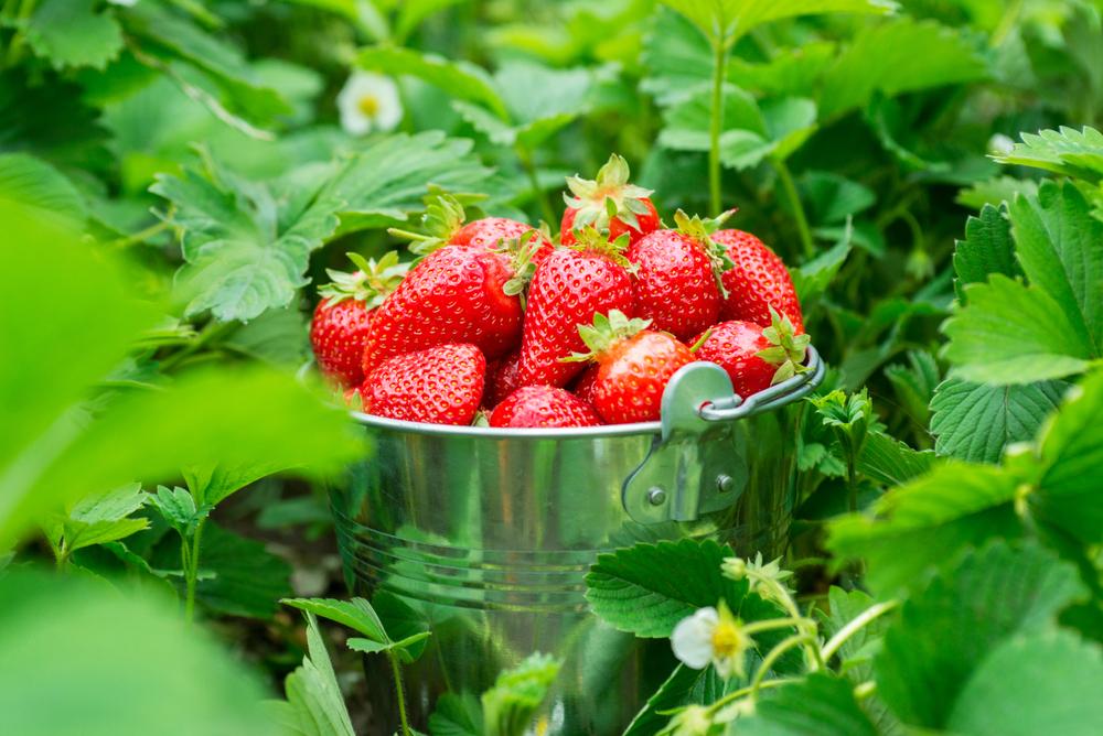 Erdbeer-Zwischenbilanz - die Früchte sind wieder billiger