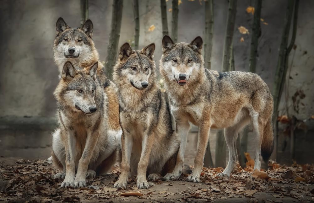 Wölfe und Weidetierhaltung - wie geht es weiter? - Verbände legen Fünf-Punkte-Plan vor