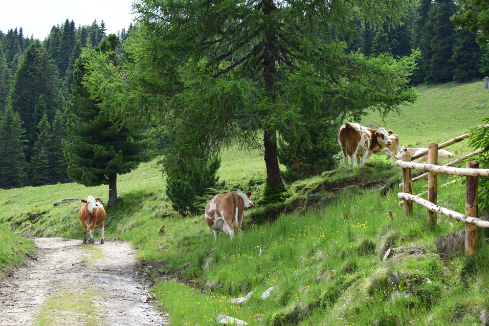 Geldmangel, Wolf, Touristen - Almen und Alpen unter Druck