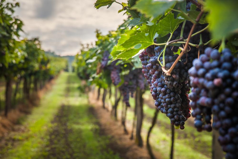 Trauben sind reif - Weinlese im Siebengebirge gestartet