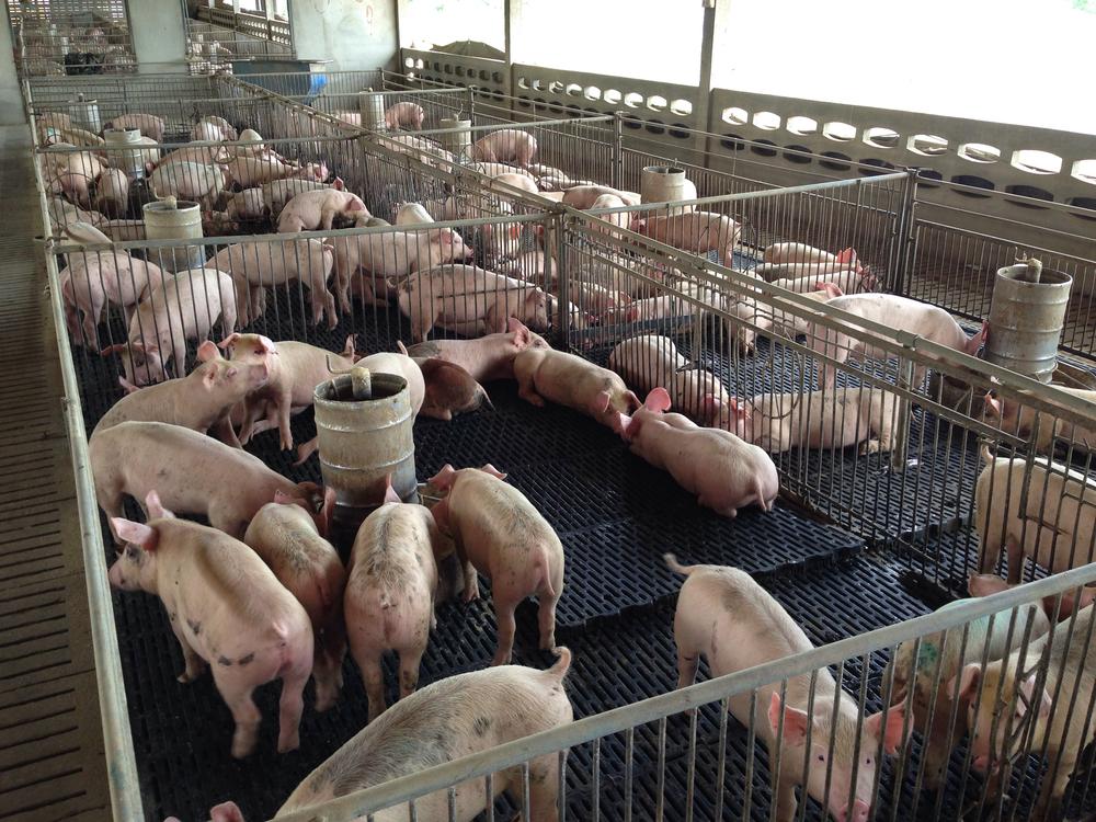 Klöckner sichert Schweinehaltern Unterstützung zu