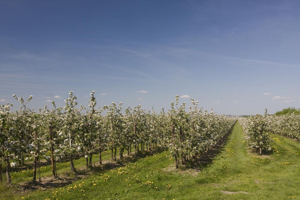 Altes Land in voller Apfelblüte - Klöckner besucht Obstzentrum