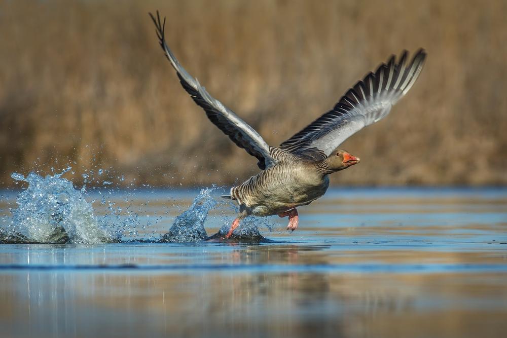 Geflügelpest bei Wildvogel im Landkreis Cham nachgewiesen