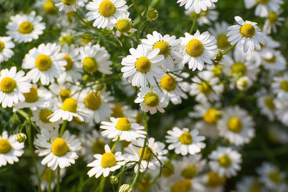 Kühler Frühling bremst Ernte von Kamille und Co.