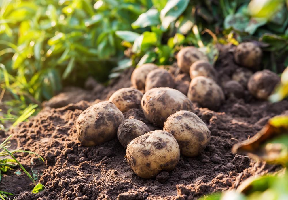 Niedersachsen bleibt bei Kartoffeln die Nummer eins