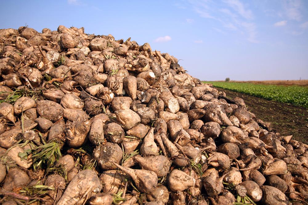 Zuckerrüben-Ernte in der Börde gestartet