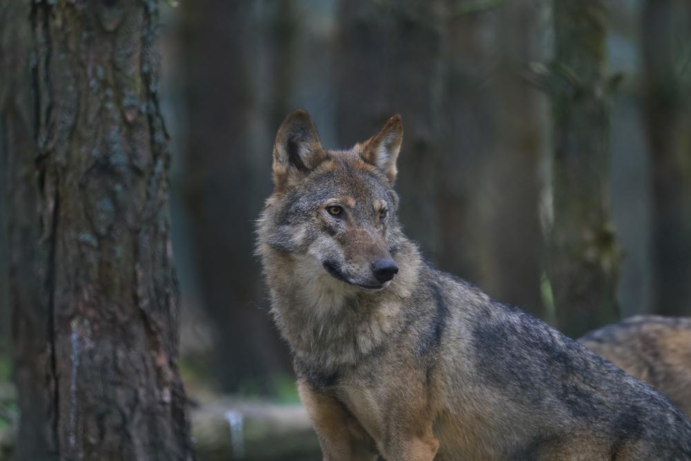 18 gerissene Tiere - Erneuter Wolfsangriff im Landkreis Bayreuth?